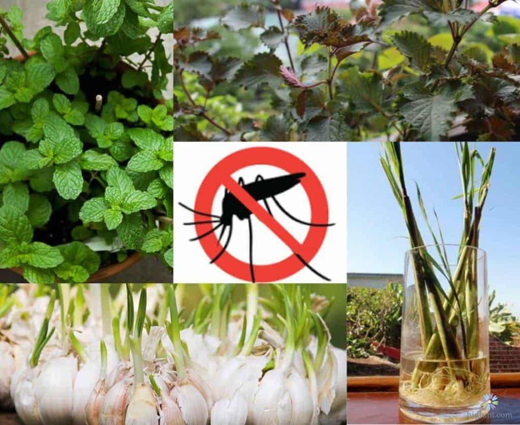 trồng cây đuổi muỗi