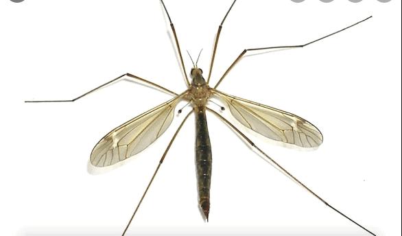 Con muỗi sống được bao lâu