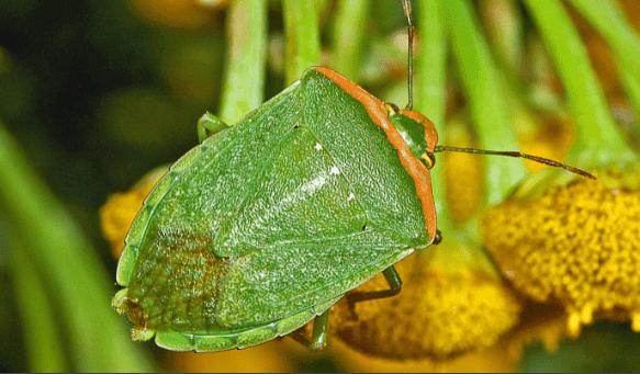 Sự nguy hiểm của bọ xít trong nông nghiệp